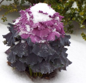 Purple Cabbage with snow- cropped