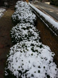 snowy bushes in a line